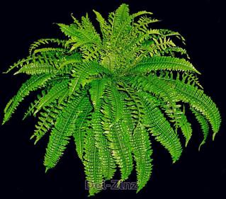 24-inch-silk-boston-fern