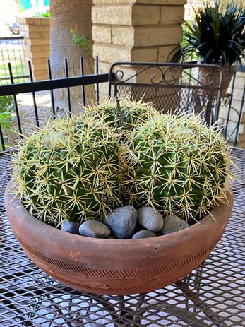 barrel cactus trio
