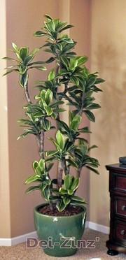 silk variegated dracaena tree