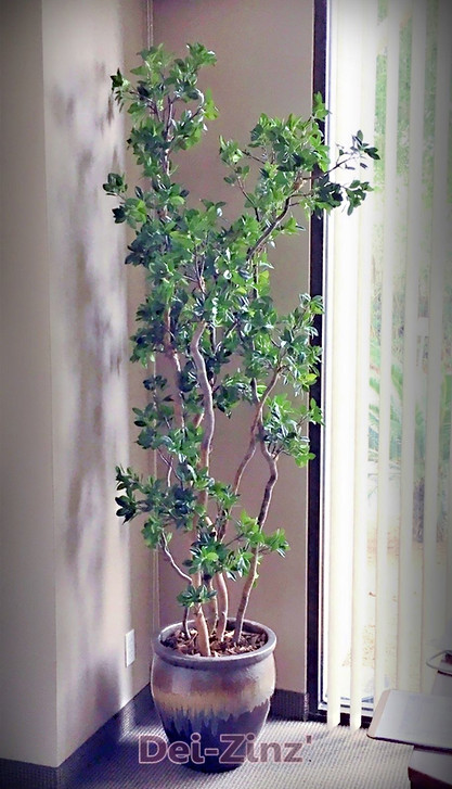 upright silk pittosporum tree