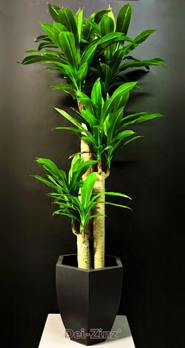 silk-massangeana-cane-plant