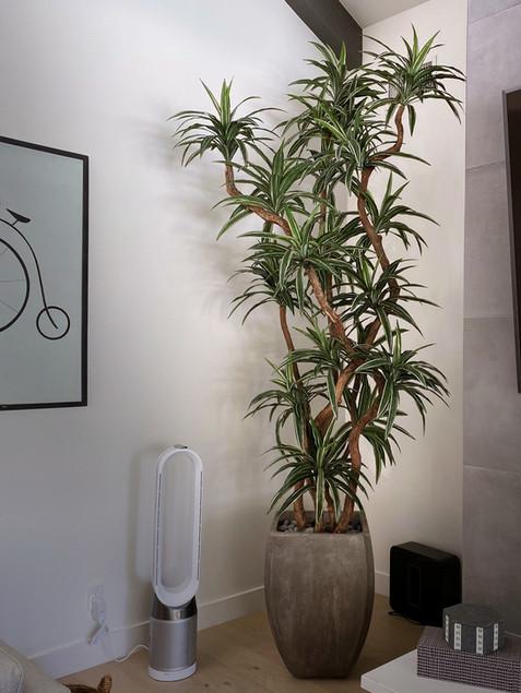 10-foot dracaena warneckii tree