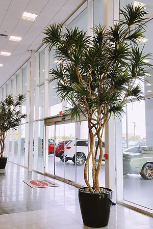 Artificial 16 foot tall dracaena marginata in auto dealership showroom