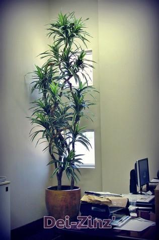 silk-dracaena-warneckii-tree-in-business-office