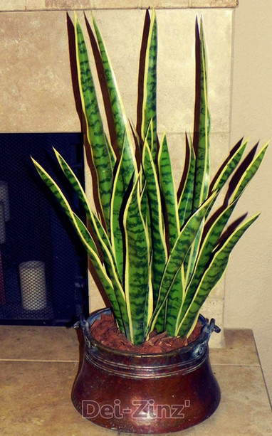 faux mother in law tongue succulent