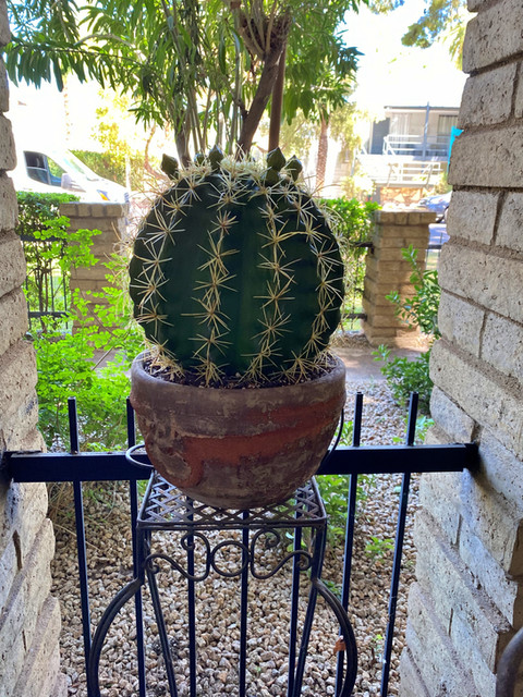 faux blooming barrel cactus