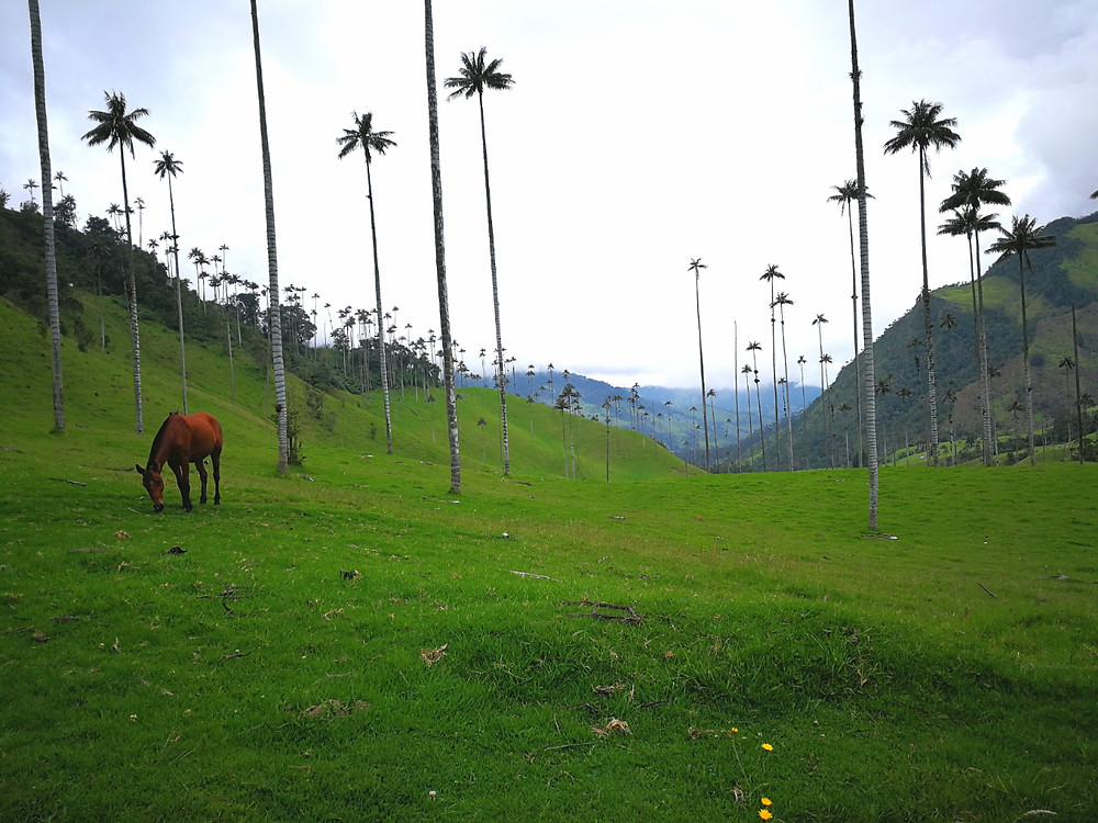Cocora Valley, Palmiers, Salento, Colombie