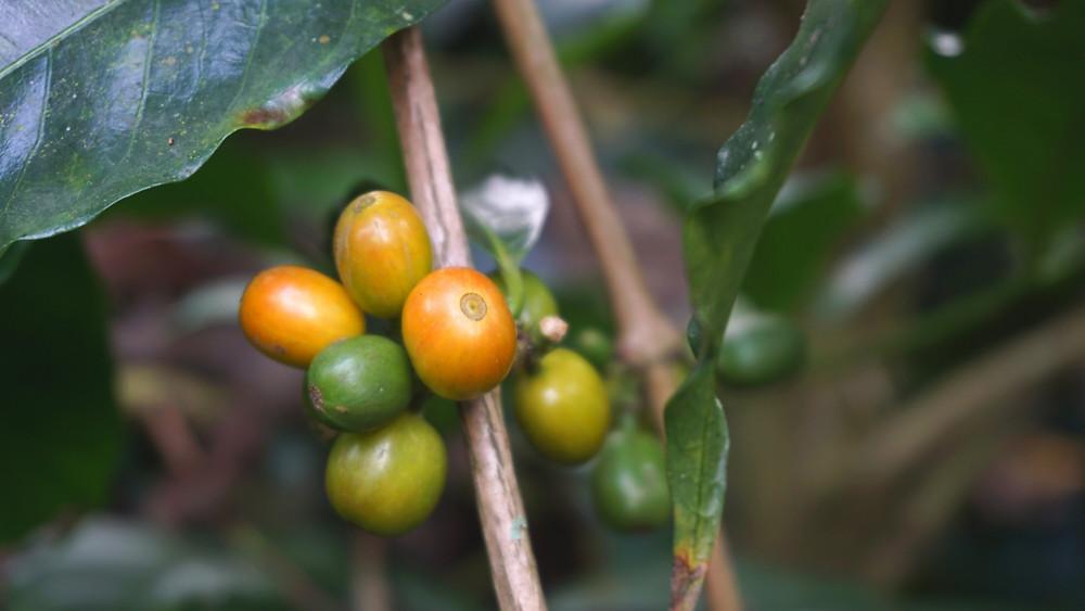 graines de café colombien