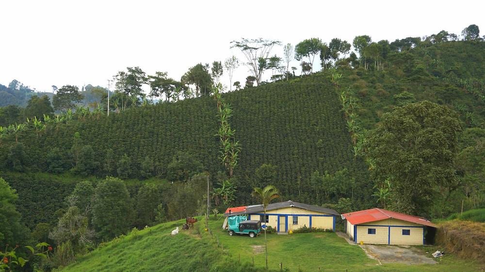 Champs de café, Colombie