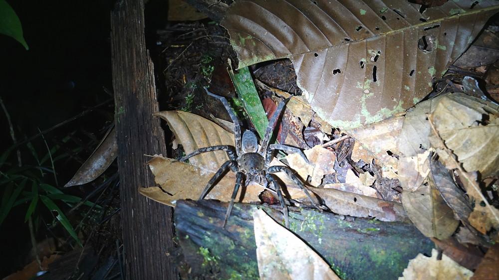 Araignée, Cuyabeno, Amazonie, Equateur