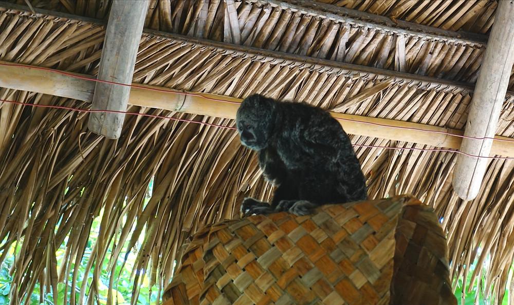 Singe, Cuyabeno, Amazonie, Equateur