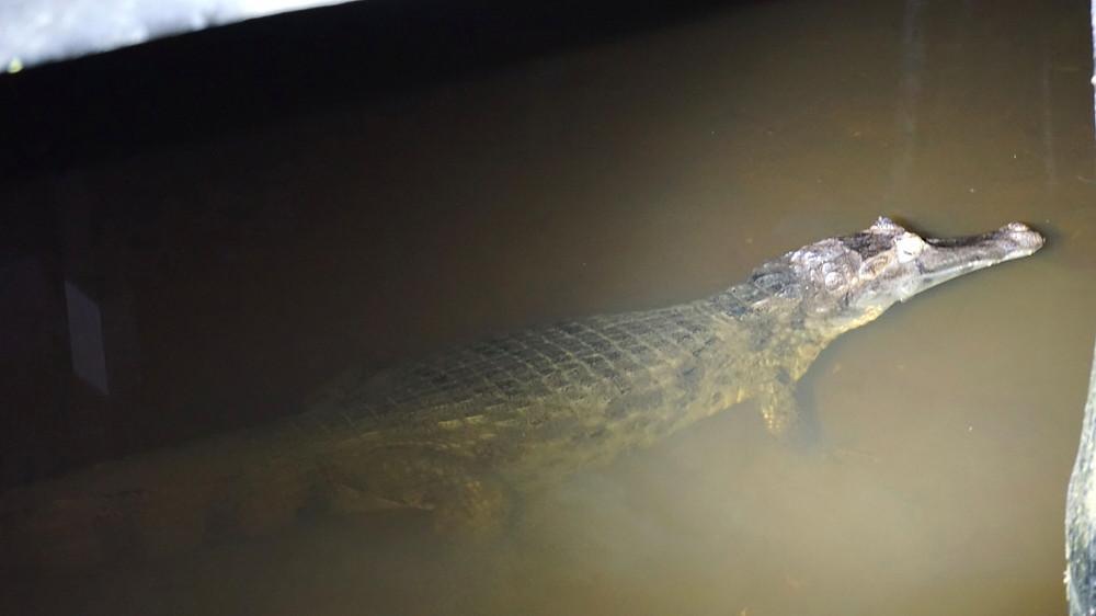Crocodile, Cuyabeno, Amazonie, Equateur