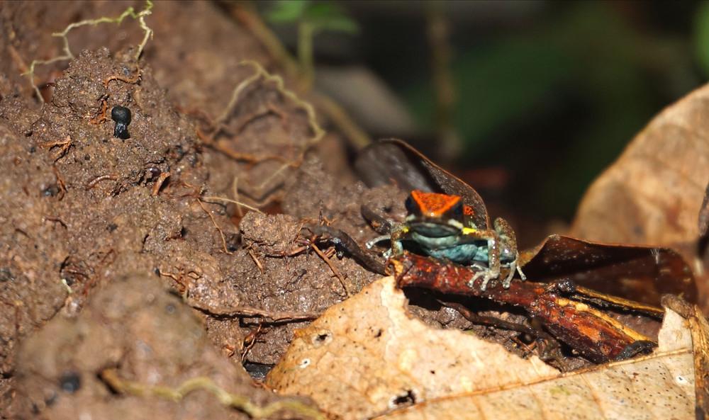 Crapeau, Amazonie, Equateur
