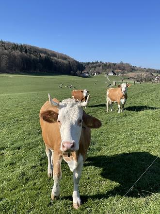 Kühe Landschaft Gossliwil