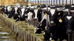 cows-rtxbfnz-jeff-green