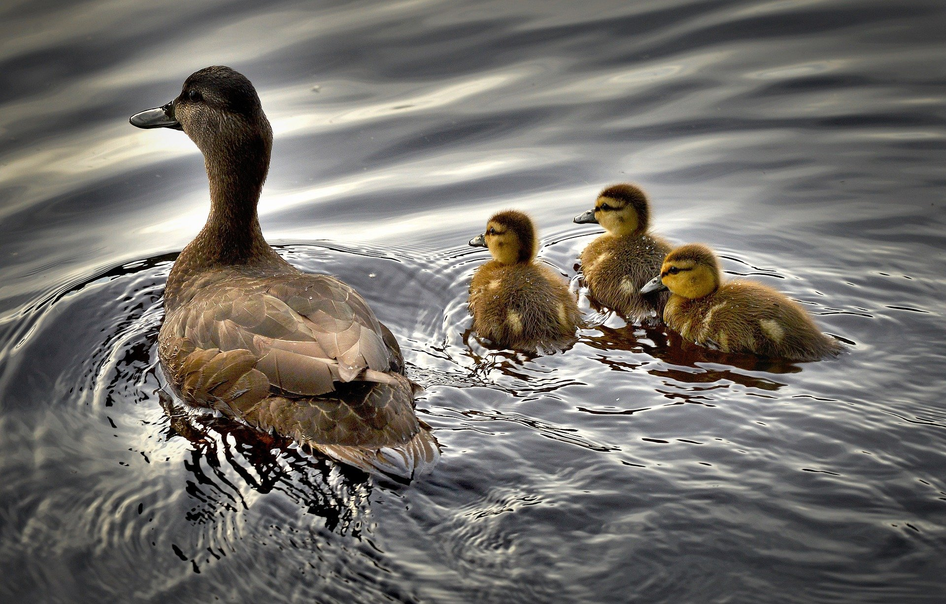 Black Ducks
