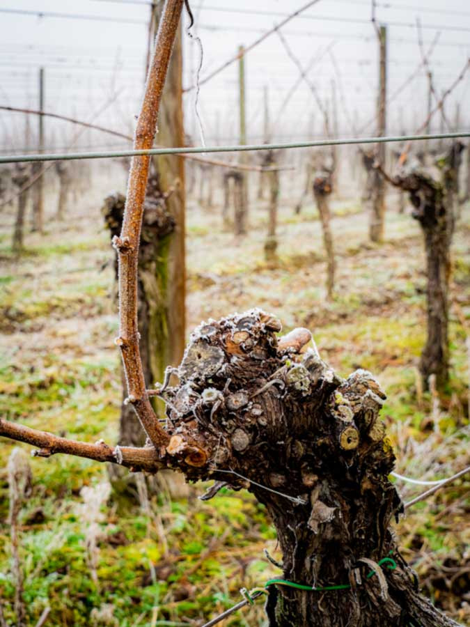 Alsace wine region winter vines with frost