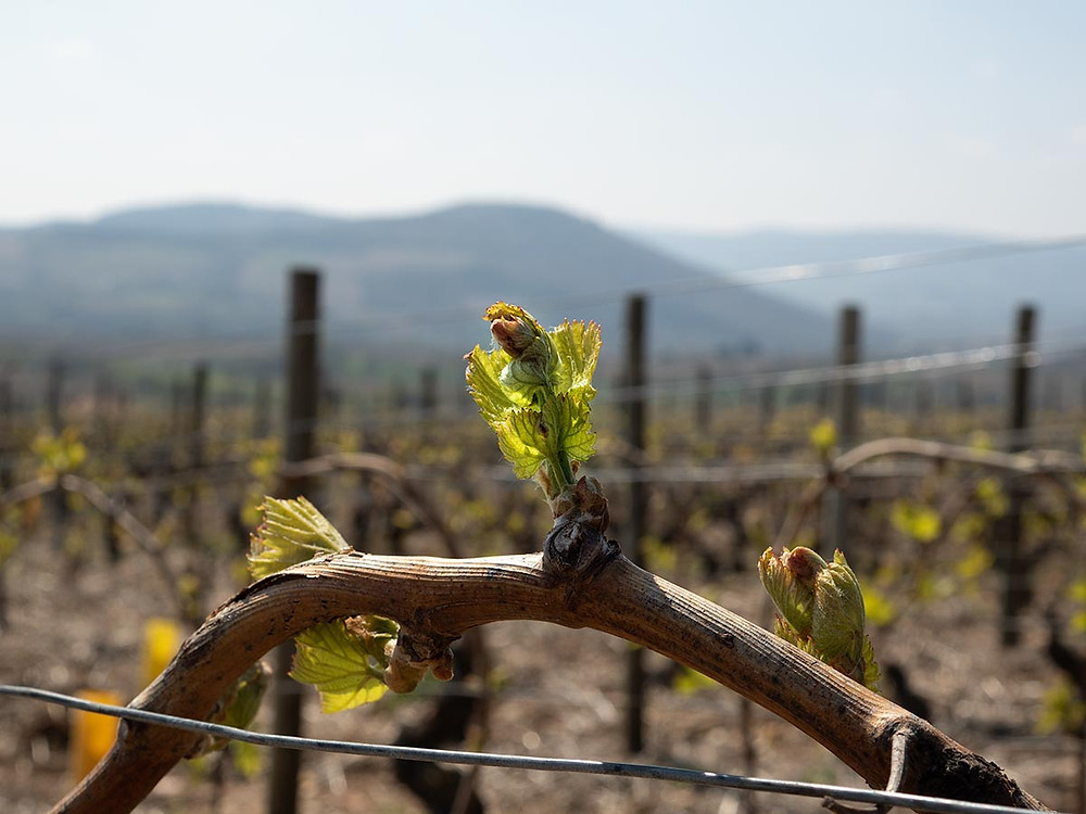 A Chardonnay bud on a Wine Tour beaujolais Hamet-Spay