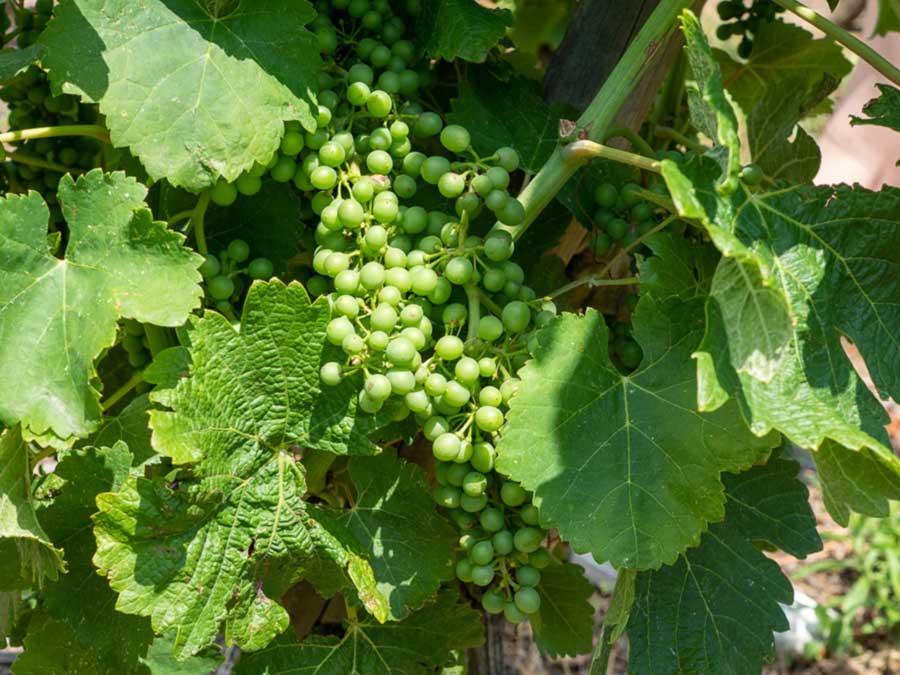 syrah grapes Northern Rhône wine region