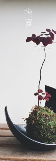小紅楓苔玉(火蕨酢漿草)
