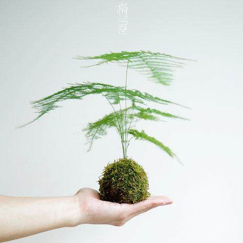Mini Bamboo Kokedama-文竹苔玉