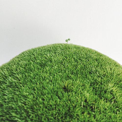 Moss-苔蘚 ( Leucobryum Glaucum )-白髮蘚