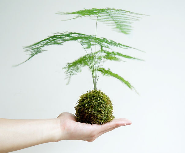 植屋苔玉工作坊 文竹 kokedama workshop moss bamboo
