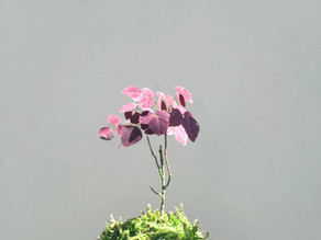[Ep-07] 小紅楓(火蕨酢漿草)的照顧