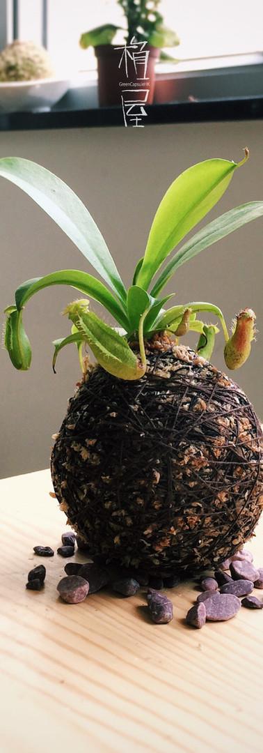 豬籠草苔玉