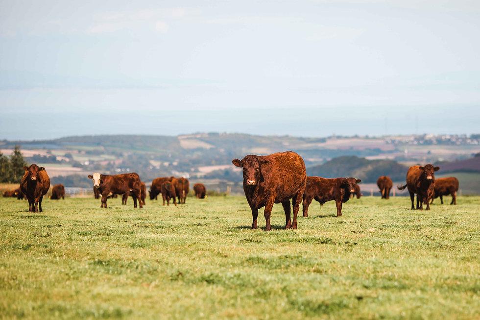 Cows in a farm