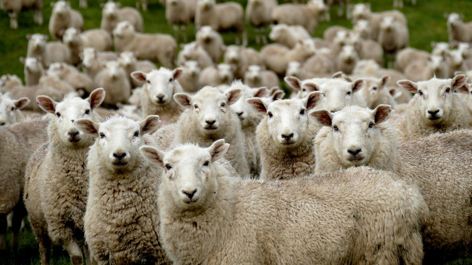 The Welsh Wool Sector in Crisis: Why Urgent Government Support is Needed