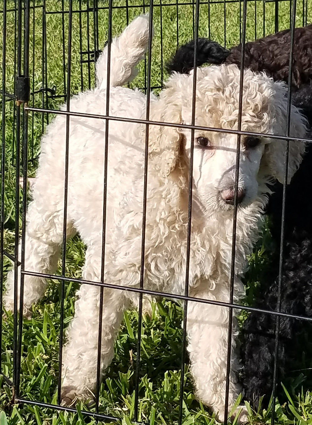 Standard Poodle puppy enjoying time outside