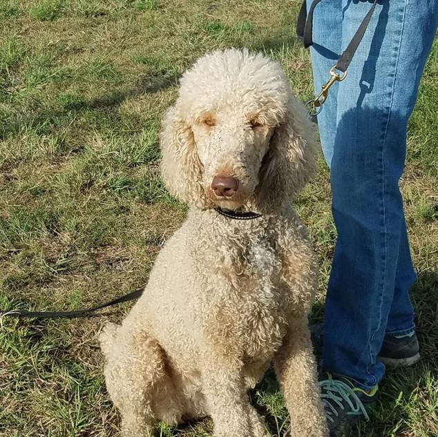 Standard Poodle: Lexie