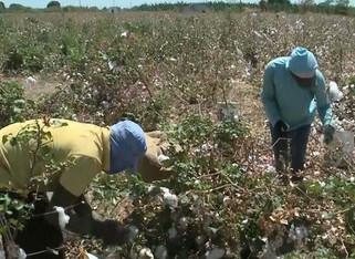 Casal trabalha em plantio de algodão para pagar faculdade dos filhos, em Sousa