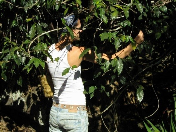 Picking berries off a coffee tree in Guatemala