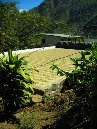 Coffee beans raked out and drying in Guatemala