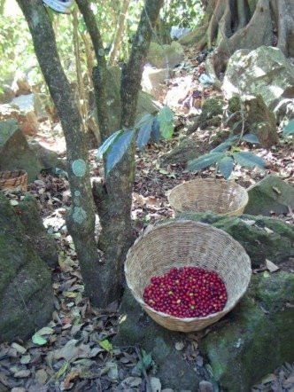 Berries fresh off the tree in Guatemala