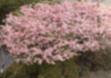 Flowering Cherry_Douglas St_March2020.jp