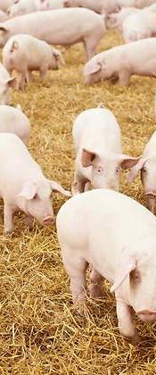 Porcicultura