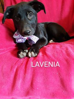 Lavenia-Lab mix-female