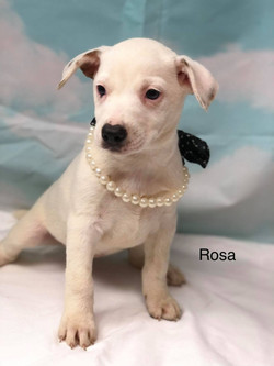 Rosa  Feist mix  ADOPTED!!!