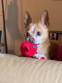 Buddy-Apple Head Chihuahua-male