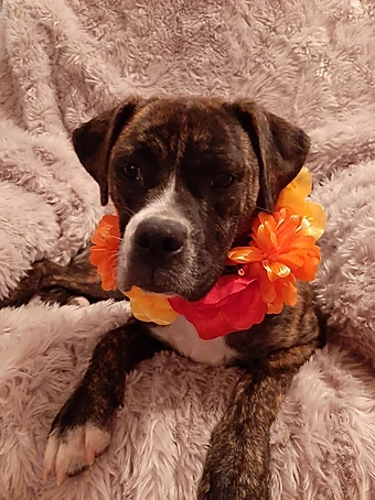 Sweet Pea - 2-year-old Boxer