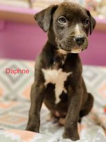 Daphne - Lab/Pit Bull Mix ADOPTED
