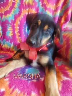 Marsha-Shepherd mix