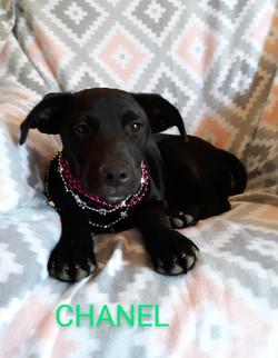Chanel-Lab mix