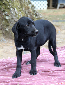 Izzy-Lab mix-female  See link for video
