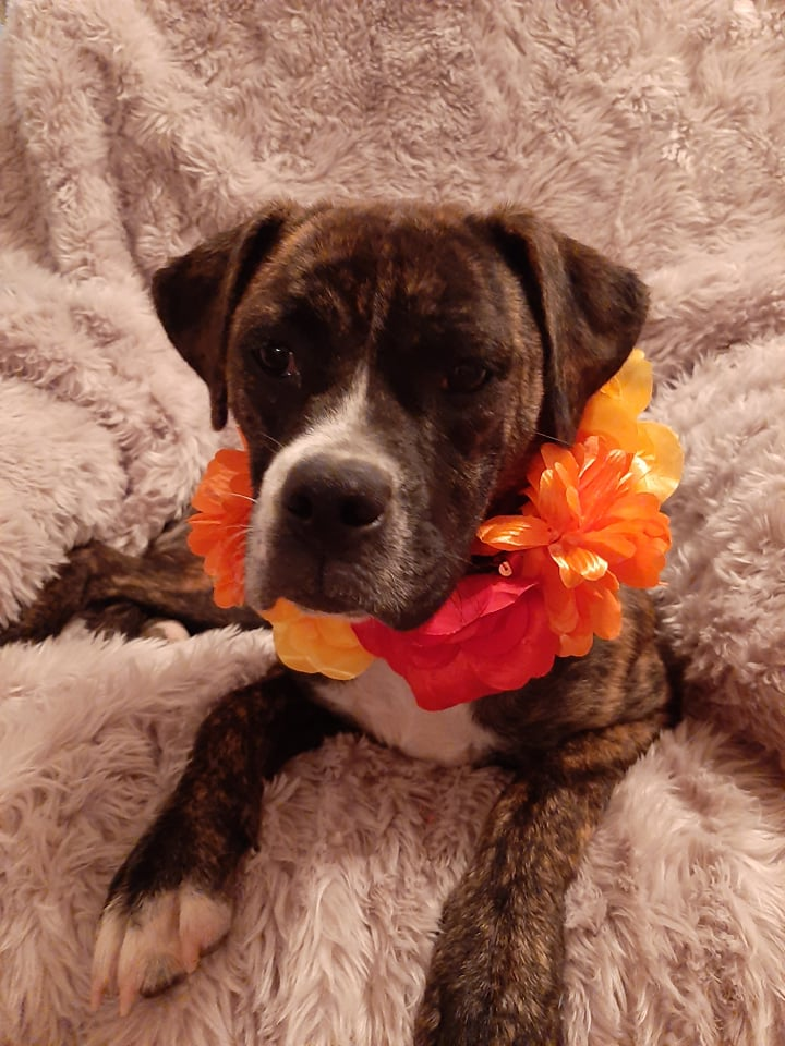 Sweet Pea - Boxer Mix - 2-year-old