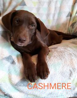 Cashmere-Lab mix