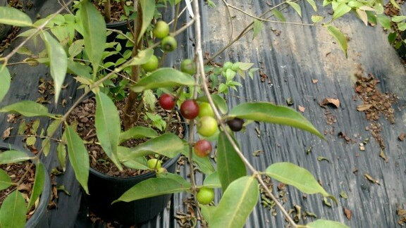 Camu Camu (Myrciaria Dubia) Plant